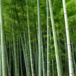 Kyoto Bambuswald zoom