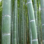Kyoto Bambuswald nahaufnahme