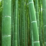 Bambuswald in Kyoto nahaufnahme grün